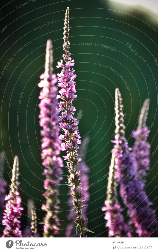 Flowers for zabalotta Summer Plant Blossom Wild plant Herbaceous plants Blossoming Fragrance Friendliness Positive Violet Pink Beautiful Nature Colour photo