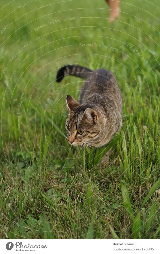 meadow Nature Meadow Animal Cat 1 Looking Brown Pelt Tabby cat Cute Catch Search Whisker Prowl Mouse trap Pet Baby animal Tails Green Colour photo Day