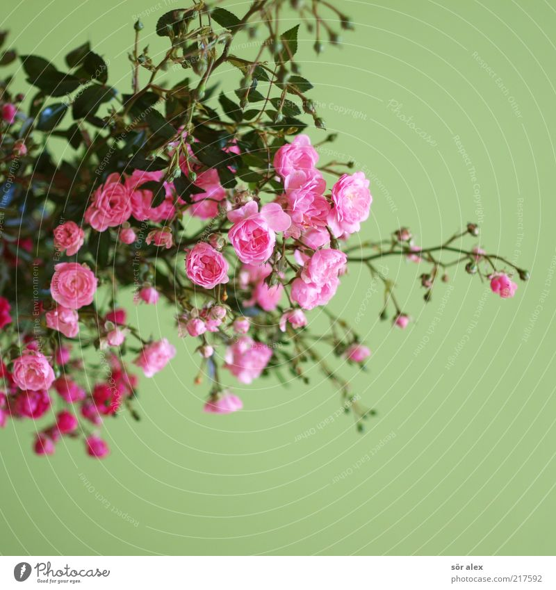 Plant Green Beautiful Colour Flower Leaf Blossom Emotions Pink Growth Decoration Bushes Romance Rose Kitsch Bouquet