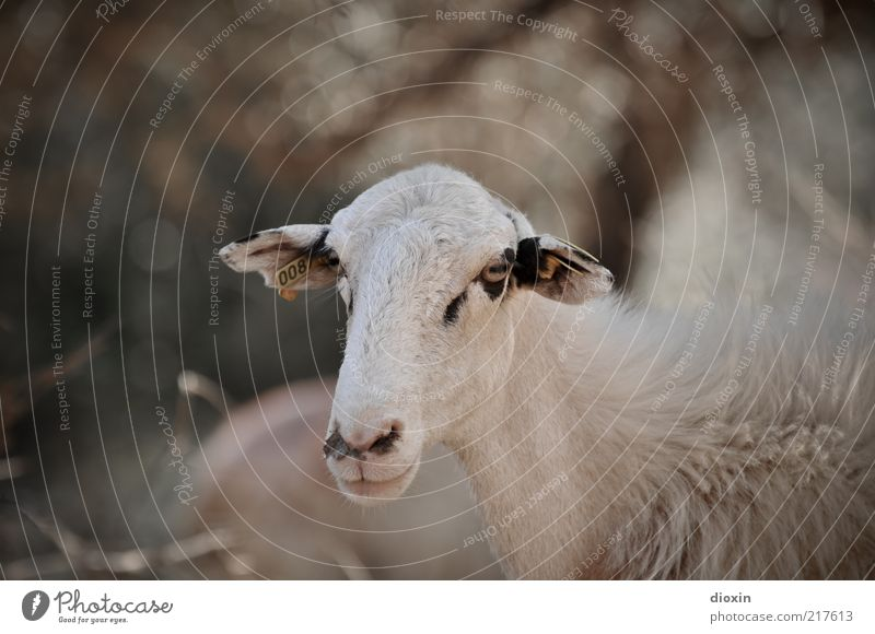 You just have to want to! Animal Pet Farm animal Animal face Pelt Sheep 1 Looking Stand Resolve Lamb's wool Eyes Ear Snout Muzzle Colour photo Exterior shot