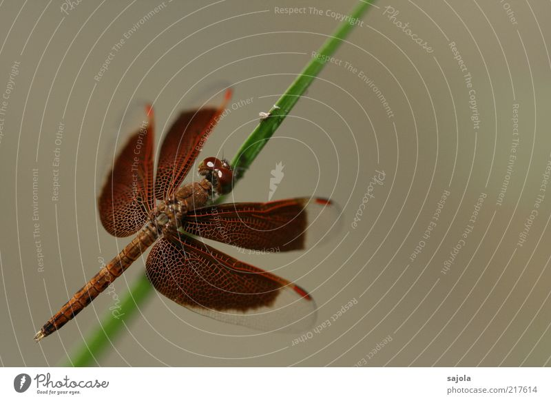 Beautiful Animal Brown Wait Elegant Sit Esthetic Protection Insect Delicate Stalk Wild animal Blade of grass Dragonfly Macro (Extreme close-up) Compound eye