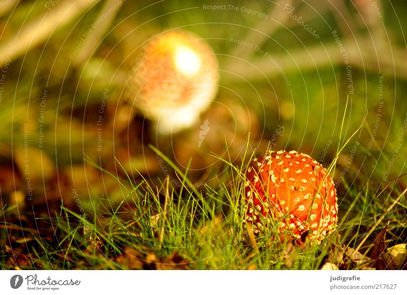 Nature Plant Meadow Autumn Grass Landscape Environment Growth Climate Uniqueness Wild Natural Mushroom Poison Spotted Woodground
