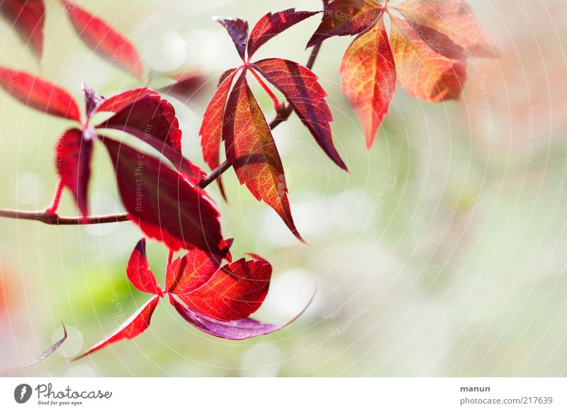 Nature Beautiful Plant Leaf Autumn Bright Environment Bushes Change Transience Fantastic Natural Autumn leaves Twigs and branches Vine Autumnal