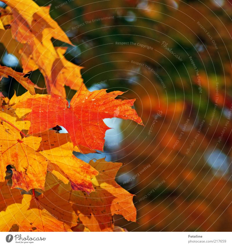 Autumn Environment Nature Plant Elements Air Tree Leaf Wild plant Forest Bright Natural Multicoloured Yellow Gold Orange Green Maple tree Maple leaf