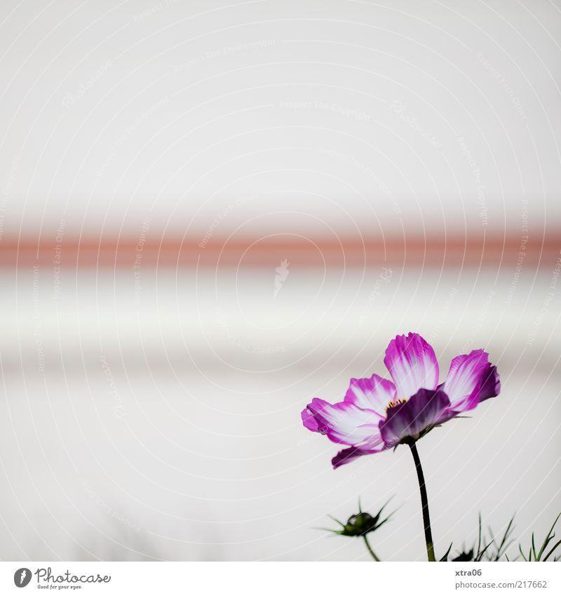 White Flower Plant Blossom Pink Stripe Stalk Blossom leave