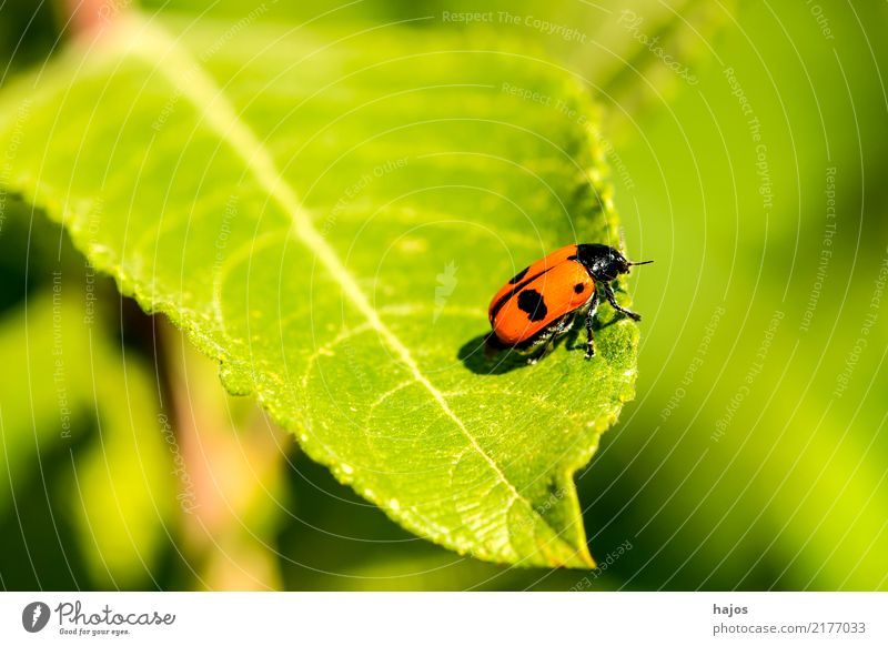 Nature Red Animal Black Life Wild animal Threat Insect Blade of grass Beetle Indigenous Seldom