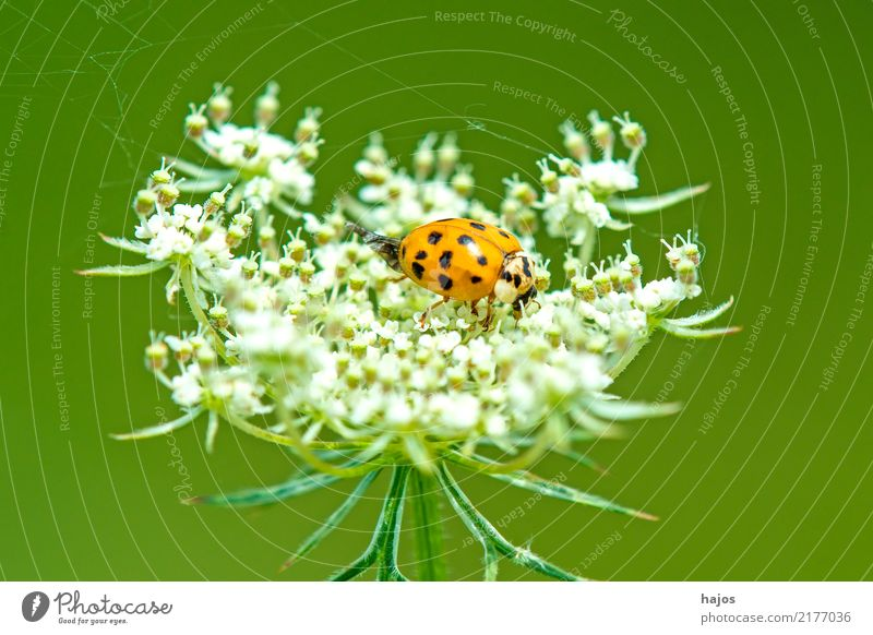 Ladybird on wild carrot Animal Blossom Wild animal Beetle Friendliness Red Black White beneficial Insect Spotted Germany Carrot Domestic Mostly