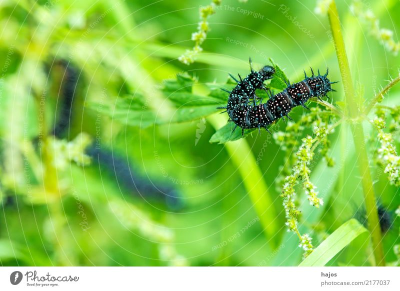 Caterpillar of peacock butterfly Animal Leaf Wild animal Butterfly To feed Black Peacock butterfly Thorn white stinging nettle Insect Germany Grün Colour photo