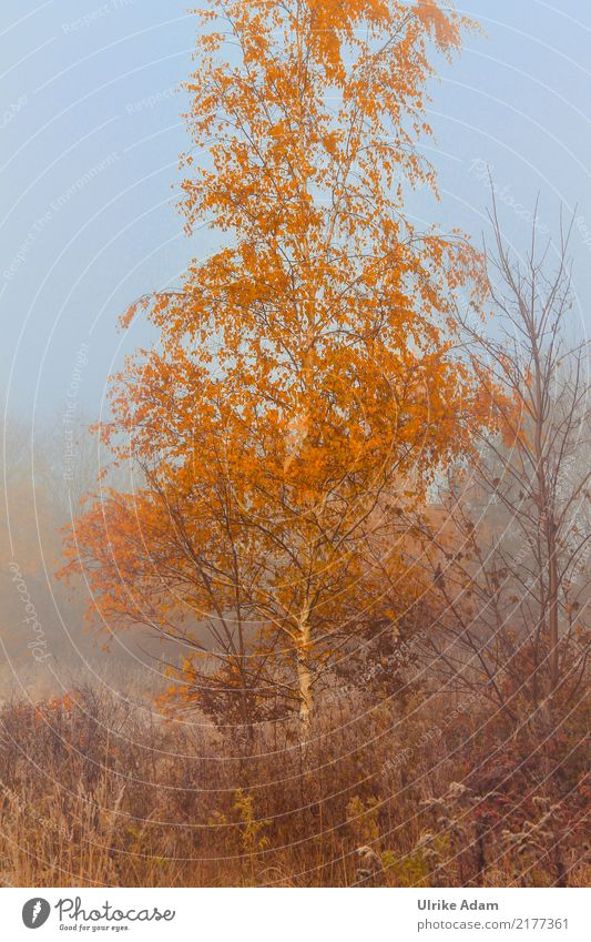 Birch in autumn fog Wallpaper Environment Nature Plant Autumn Fog Tree Leaf Birch tree Autumn leaves Field Bog Marsh Blue Brown Orange Mystic Haze Twilight