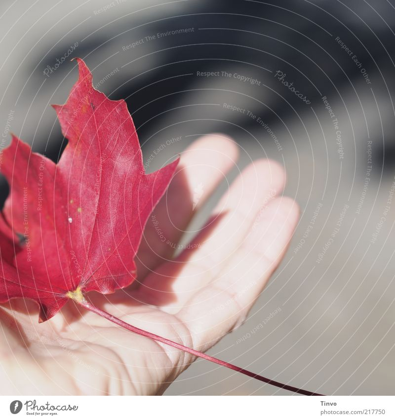 red autumn leaf is held by hand Hand Fingers Nature Autumn Leaf Carrying Gray Red Retentive Catch Maple leaf Autumn leaves Easy Touch Skin Wrinkle Rachis Sun