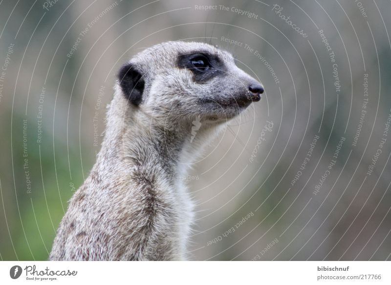 Meerkats in detail Animal Wild animal Animal face 1 Sit Colour photo Exterior shot Day Animal portrait Profile Looking Eyes Nose Snout Pelt Deserted