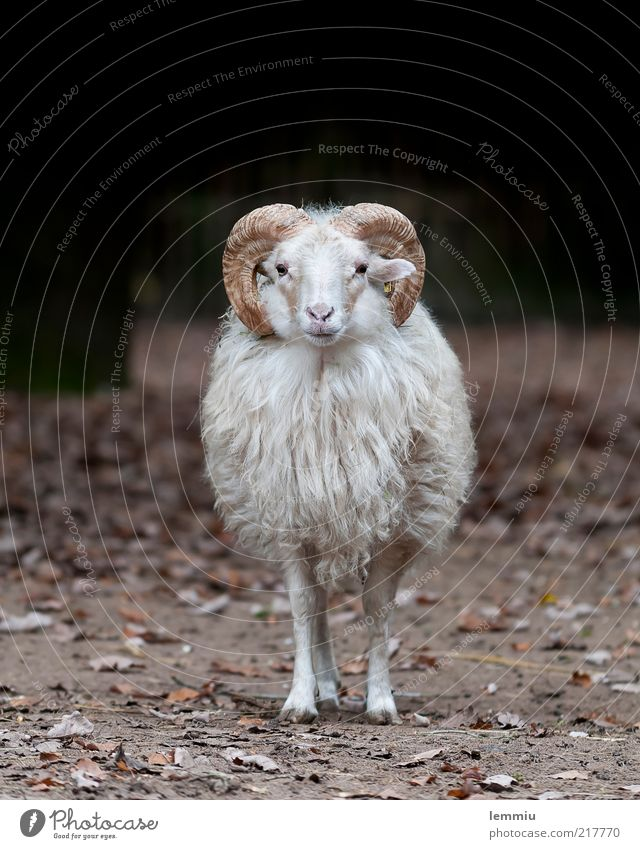 I'm sooo lonely Animal Farm animal 1 Looking Sheep Moorland sheep Pelt Antlers Loneliness Wool Colour photo Subdued colour Exterior shot Copy Space top Day