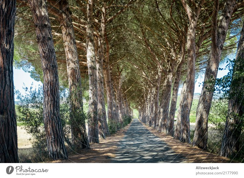 Avenue in Tuscany Relaxation Calm Trip Summer Nature Tree Forest Street Driving Hot Green White Romance Loneliness Summery Italy road trip Sequence Colour photo