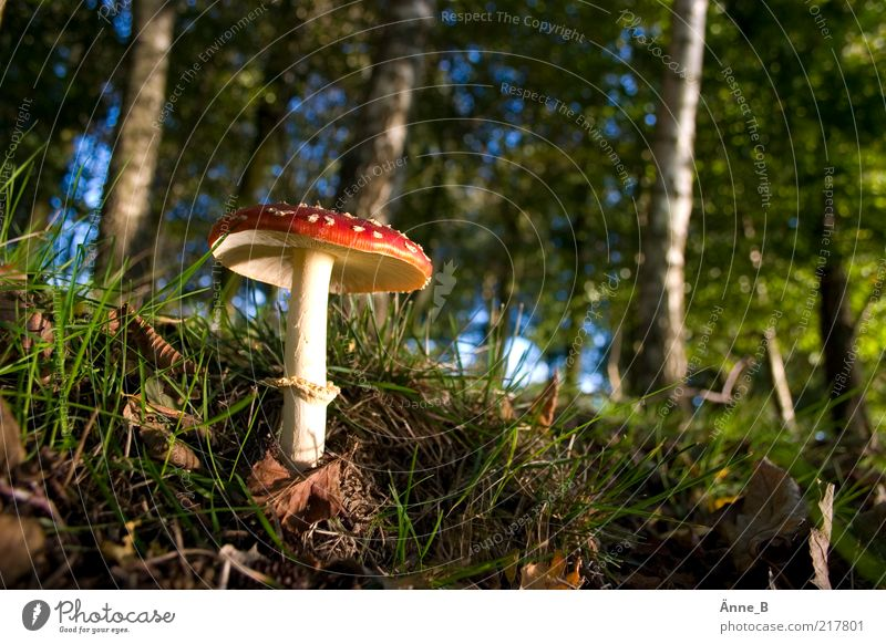 In the big forest Environment Nature Elements Earth Sky Autumn Beautiful weather Tree Grass Moss Leaf Forest Line Illuminate Growth Green Red Amanita mushroom