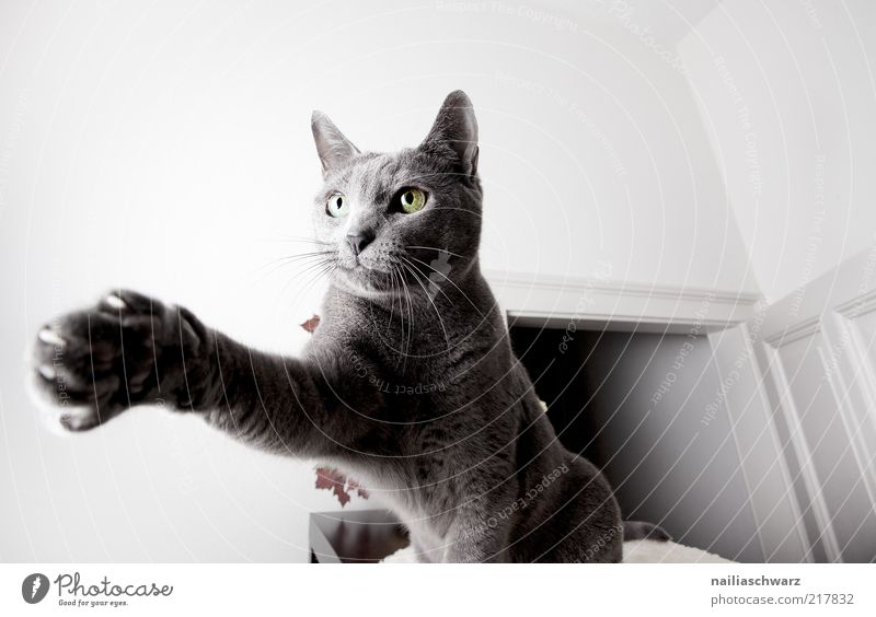 Animal Movement Gray Cat Door Perspective Open Paw Pet Crouch Domestic cat Short-haired Scratch Land-based carnivore Light