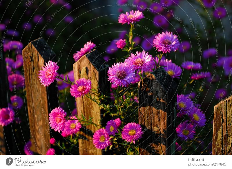 Autumn flowers at the garden fence Garden Nature Plant Summer Flower Blossom Blossoming Growth Esthetic Natural Brown Violet Pink Beautiful Calm Life Fragrance