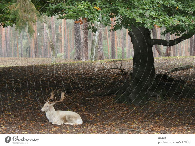 tree shadow area Nature Autumn Tree Forest Wild animal 1 Animal Exceptional Green White Calm Contentment Environment Deer Exterior shot Deserted Day Lie