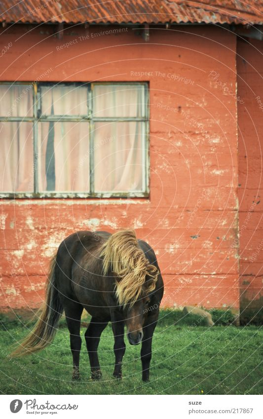 Old Green Beautiful Red Animal House (Residential Structure) Window Meadow Wall (building) Exceptional Facade Living or residing Horse Pet Iceland