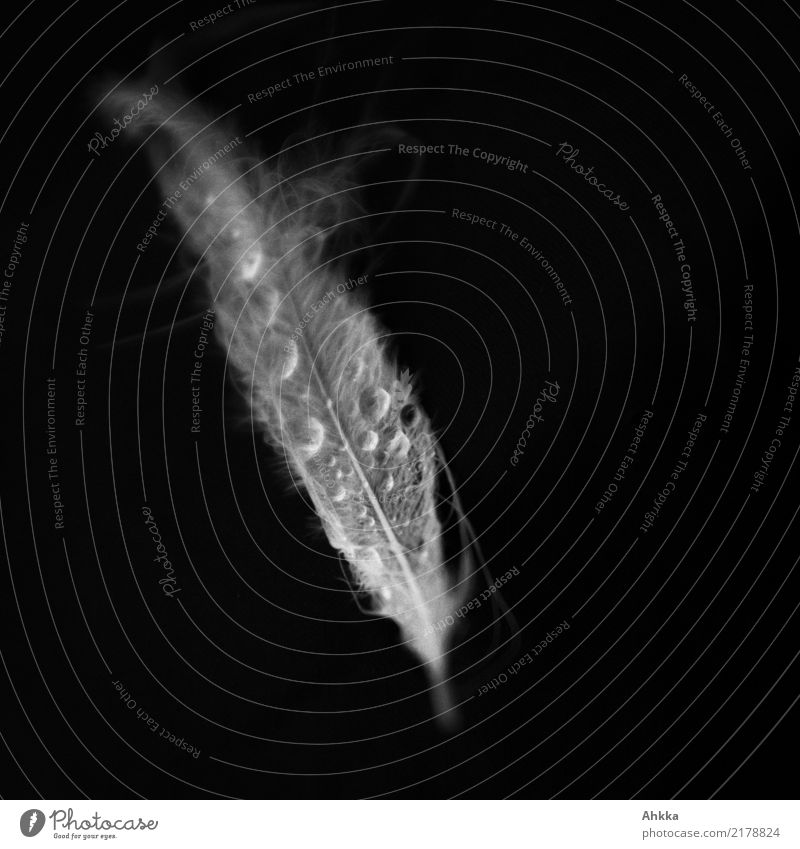 Ghostly swan feather with drops of water, black background Senses Meditation Water Drops of water Feather Fluid Wet Black White Purity Sadness Concern Grief