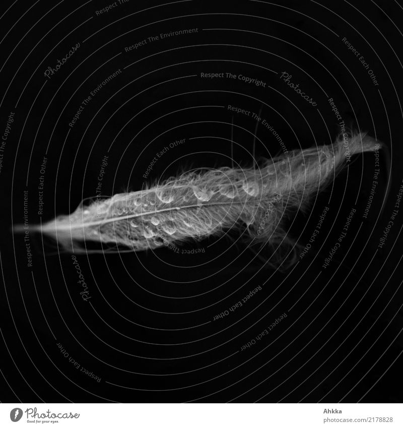 Delicate gooseneck feather with drops of water against a black background Drops of water Feather Fluid Glittering Wet Natural Soft Black White Sadness Concern
