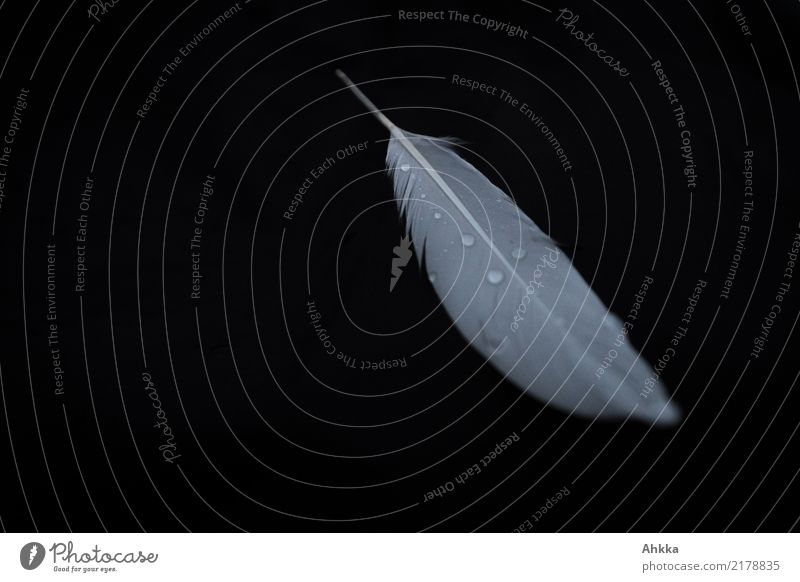 White swan feather with drops of water on black background Drops of water Feather Esthetic Small Wet Black Purity Sadness Concern Grief Death Pain Loneliness
