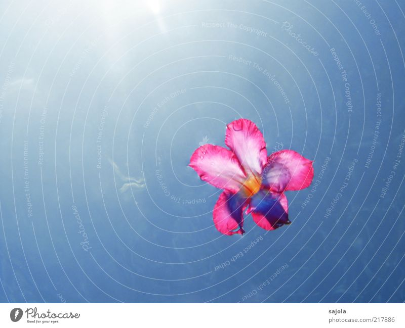 floating flower Nature Plant Elements Water Sky Sun Summer Flower Blossom Blue Pink Hover Colour photo Exterior shot Underwater photo Deserted Copy Space left