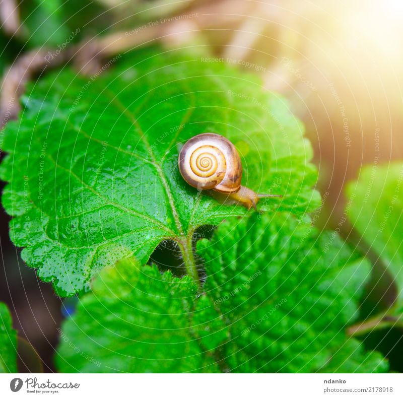 small snail on a green leaf Summer Garden Nature Plant Animal Leaf Small Green Insect sunny slow Colour photo Close-up Deserted Day