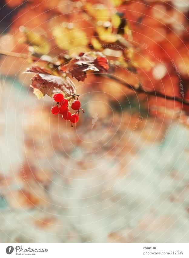Red Berries Fruit Environment Nature Autumn Plant Tree Bushes Berry bushes Berry seed head Autumn leaves Autumnal Early fall Autumnal colours Bright Beautiful