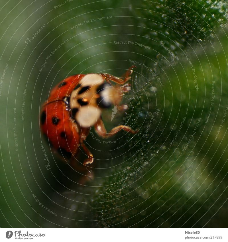 Mariechen very close Nature Animal Beetle 1 Green Red Ladybird Crawl Insect Colour photo Interior shot Macro (Extreme close-up) Copy Space right Copy Space top