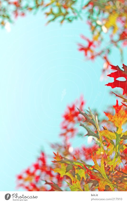Nature Sky Blue Plant Red Leaf Yellow Autumn Background picture Weather Gold Climate Card Twig Blue sky