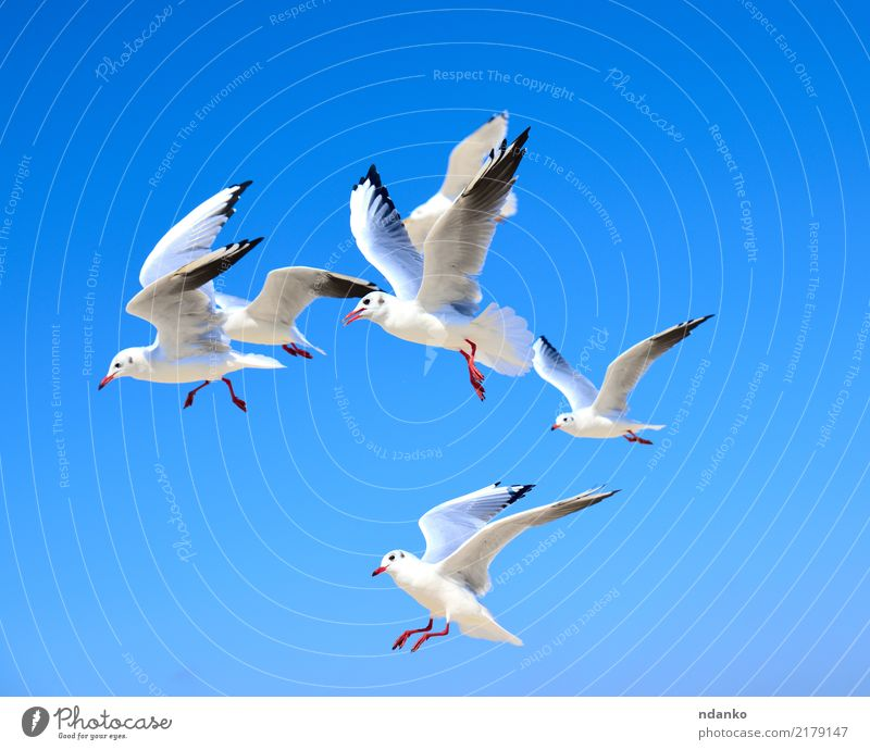 flock of white gulls Freedom Summer Ocean Nature Animal Sky Bird Flock Movement Flying Blue White Seagull space air Feather Story soar wildlife Colour photo