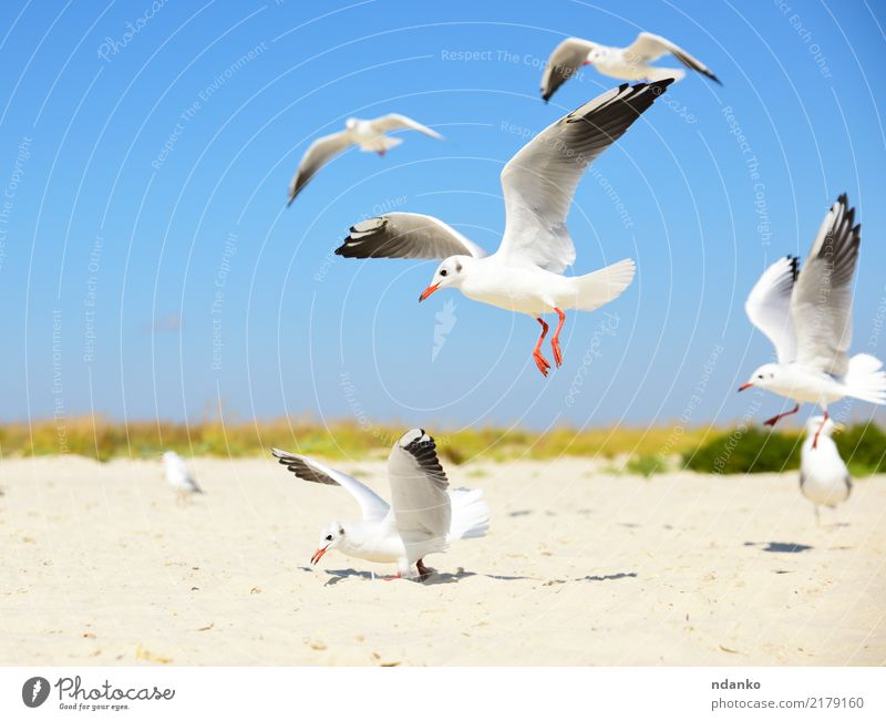 white seagulls on the beach Freedom Summer Sun Beach Ocean Group Nature Landscape Animal Sand Sky Coast Bird Natural Wild Blue White fly sunny Feather flock