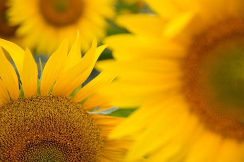 sunflowers Sunflower Flower Daisy Family Blossom leave Sunflower field Field Nature Natural Summer Autumn Blossoming Plant Leaf Green Orange Yellow