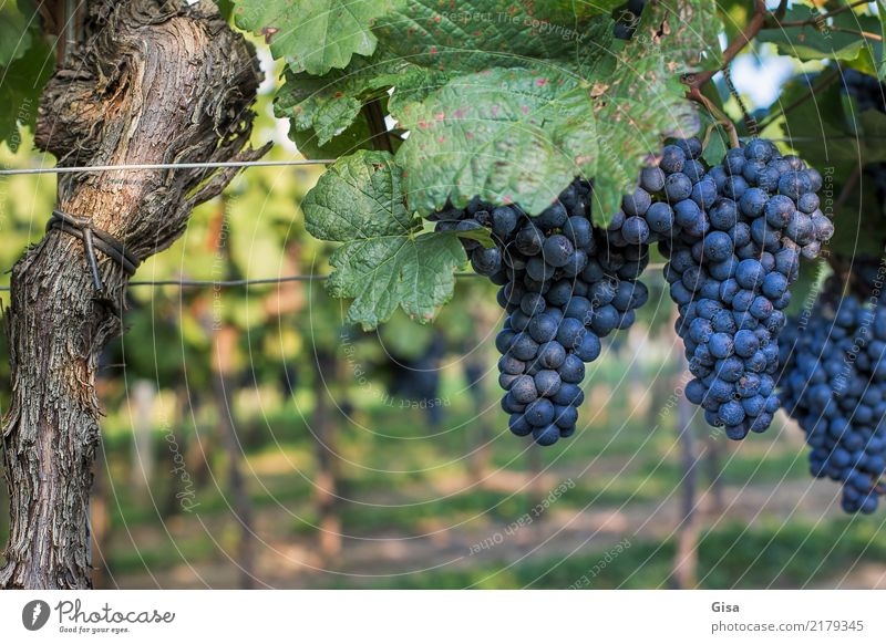 Ripe for mouth and press Food Fruit Bunch of grapes Nutrition Beverage Wine Feasts & Celebrations Thanksgiving Nature Landscape Autumn Climate Plant