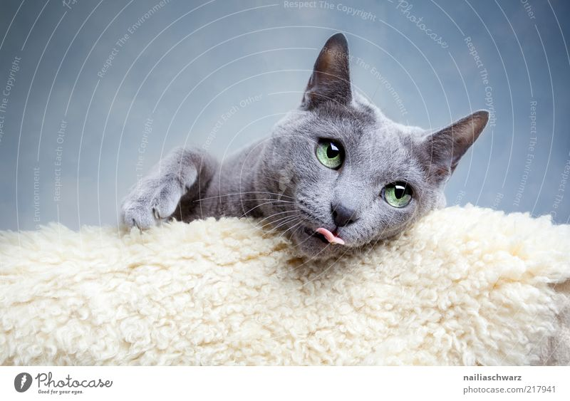 cat's eye Animal Pet Cat 1 Lie Esthetic Funny Near Blue Gray Silver White Tongue Colour photo Subdued colour Interior shot Close-up Shallow depth of field
