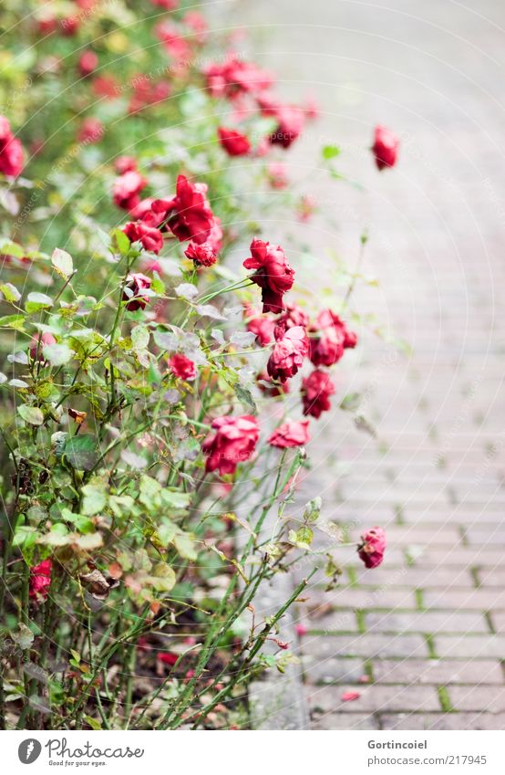 Withered Plant Autumn Flower Rose Blossom Autumnal Rose garden Flowerbed Faded rose bed Colour photo Exterior shot Pattern Structures and shapes