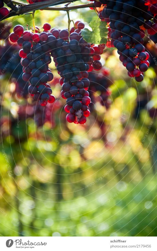 Pinot noir on a stick, hanging Nature Plant Autumn Agricultural crop Yellow Green Red Wine Vine Red wine Bunch of grapes Vineyard Wine growing Grape harvest