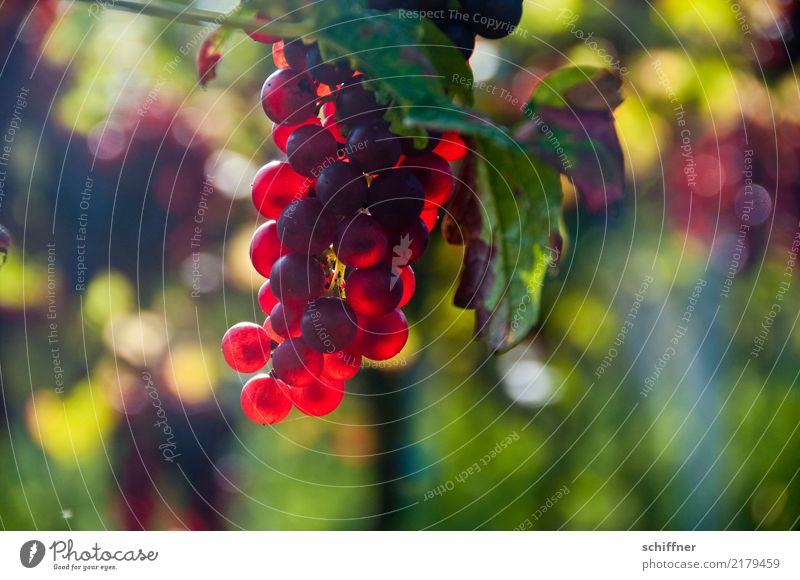 Plant Red Autumn Lamp Sweet Vine Wine Agricultural crop Grape harvest Vineyard Wine growing Bunch of grapes Red wine Vine leaf Bright Colours Burgundy