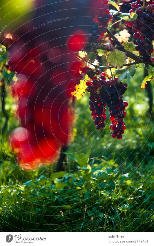 Plant Green Red Autumn Agriculture Vine Wine Harvest Grape harvest Agricultural crop Vineyard Bunch of grapes Wine growing Red wine Vine leaf Winery