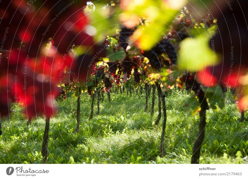 Bacchus' Dream Plant Beautiful weather Agricultural crop Field Juicy Green Red Wine Vine Bunch of grapes Vineyard Wine growing Winery Autumn Autumnal Harvest