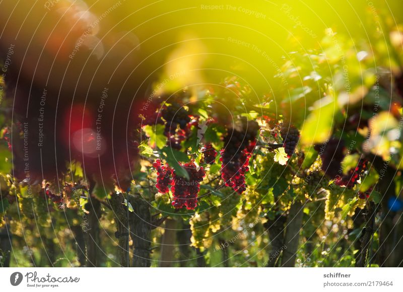In the grape sky Plant Sunlight Autumn Beautiful weather Agricultural crop Green Red Bunch of grapes Vine Vineyard Wine growing Grape harvest Winery Red wine