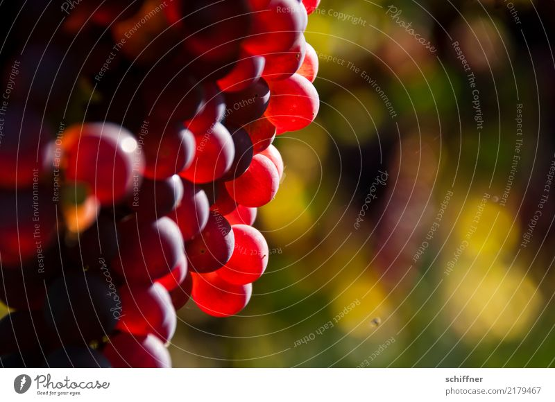 Grapes for the | hard drive Plant Autumn Agricultural crop Sweet Sunbeam Delicious Bunch of grapes Grape juice Wine Vine Vineyard Mature Maturing time
