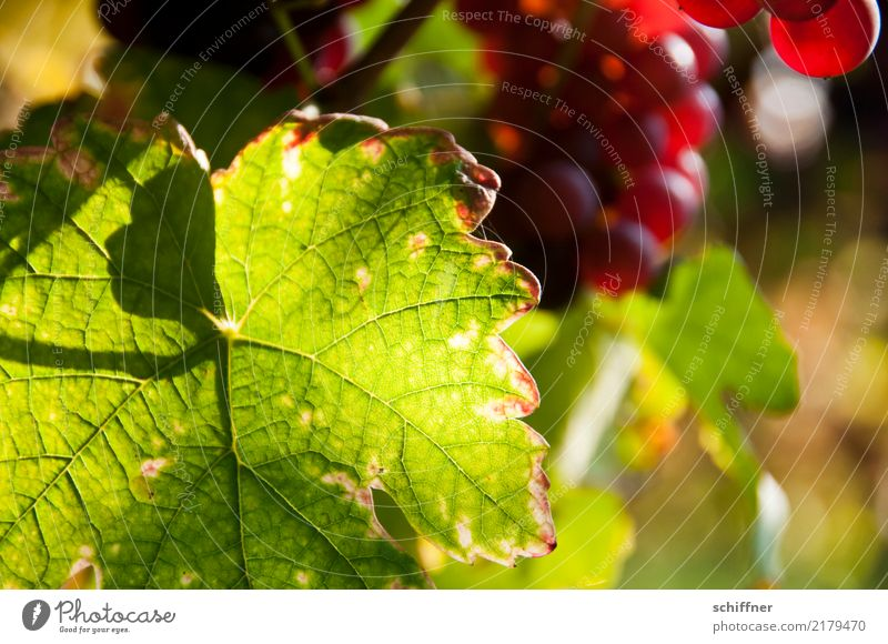 Plant Green Red Leaf Vine Wine Leaf green Agricultural crop Vineyard Bunch of grapes Wine growing Shadow play Leaf filament Vine leaf Winery
