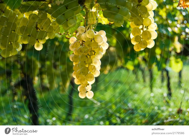 Open your mouth! Plant Autumn Agricultural crop Yellow Gold Green Wine Vine Vineyard Wine growing Bunch of grapes Grape harvest Winery Winegrower White wine