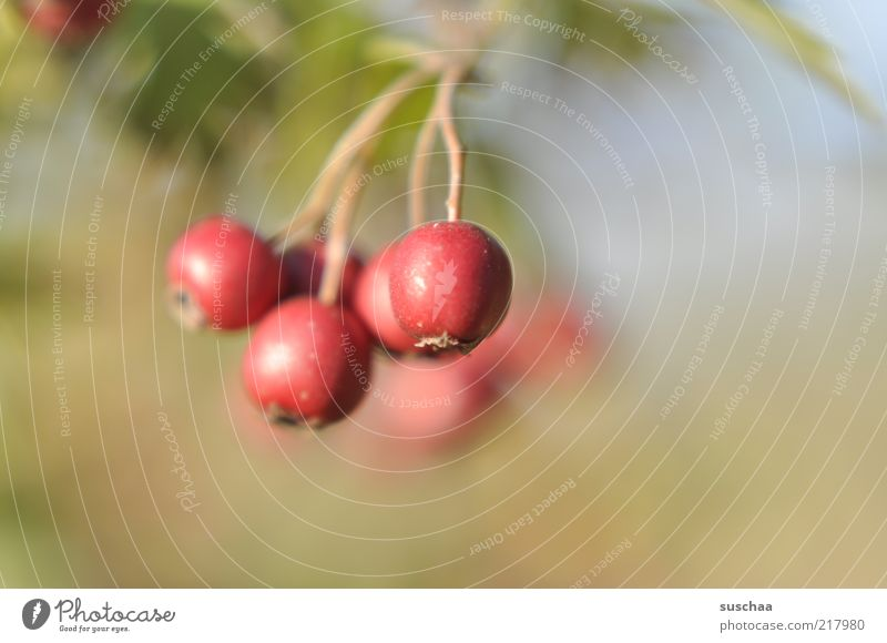of this .. Nature Plant Autumn Bushes Wild plant Red Berries Colour photo Close-up Detail Copy Space right Shallow depth of field Deserted Copy Space top