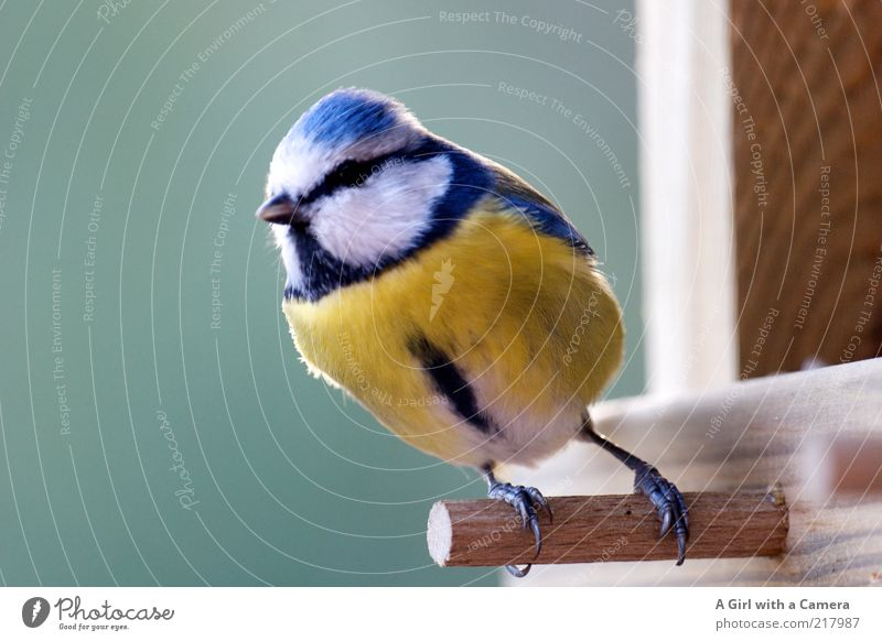 a tit Wild animal Bird Tit mouse 1 Animal Wood Looking Small Natural Cute Blue Yellow Freedom To hold on Animal face Animal portrait Full-length Plumed