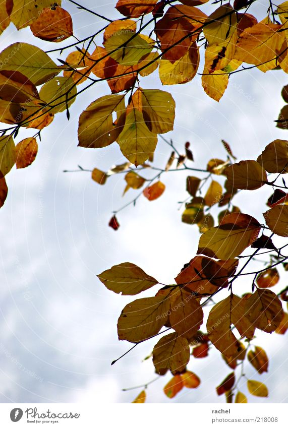 Summer Leaf Clouds Autumn Change Transience Seasons Goodbye Hang Beautiful weather Autumn leaves Exchange Deciduous tree Twigs and branches Beech tree