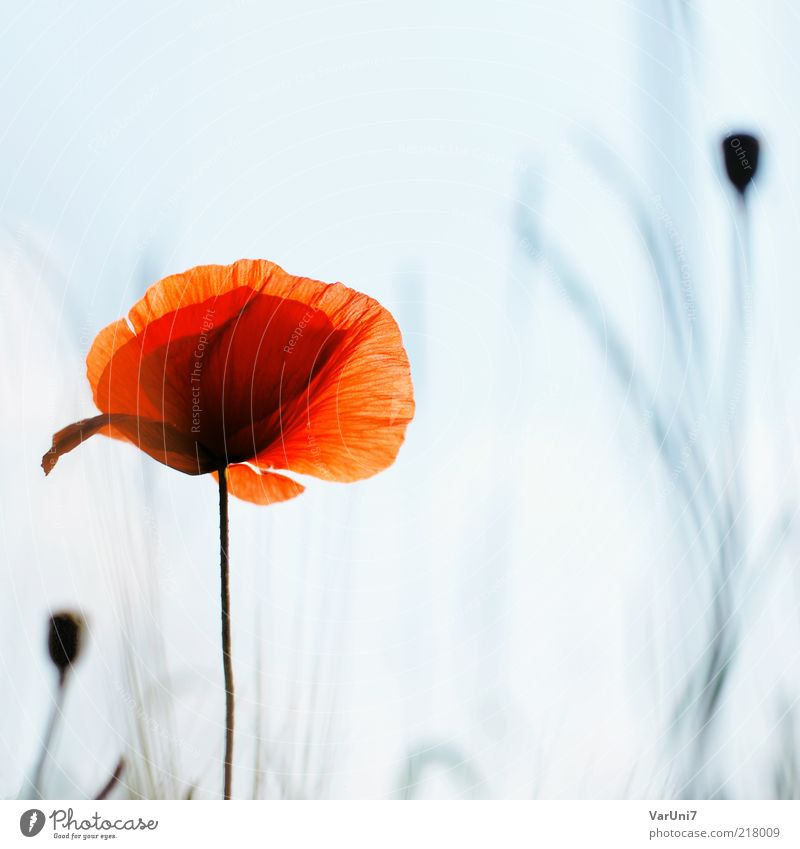 fragility Nature Plant Sunlight Summer Flower Poppy Poppy blossom Blossoming Relaxation Beautiful Natural Blue Red Moody Dream Elegant Colour Calm Environment