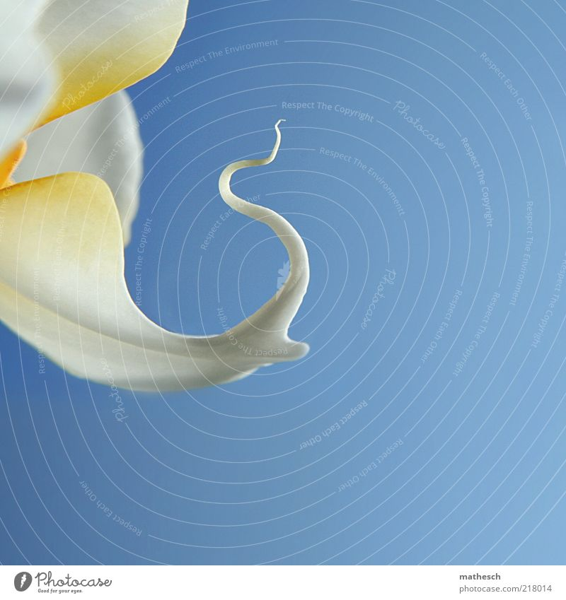 The Bull Nature Plant Air Sky Cloudless sky Beautiful weather Flower Orchid Blossom Blossoming Happiness Fresh Blue White Detail Colour photo Exterior shot