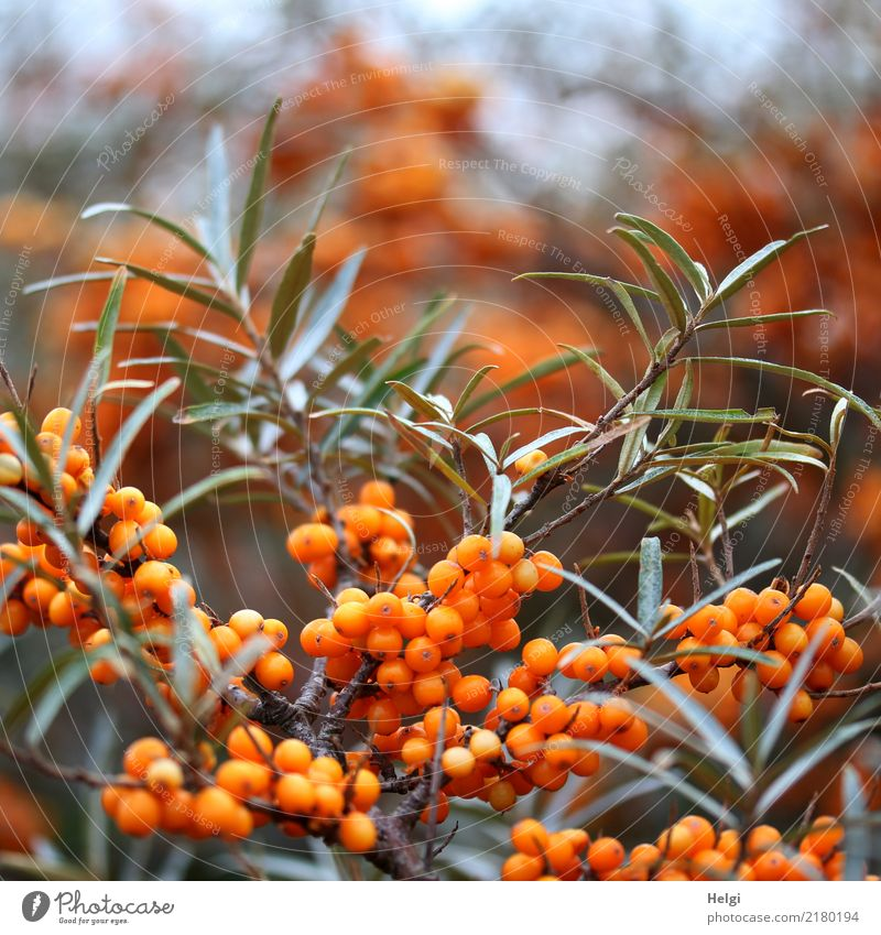 sea buckthorn Environment Nature Plant Autumn Bushes Leaf Wild plant Sallow thorn Sallow thorn leaf Berry seed head Island Helgoland Growth Authentic Small